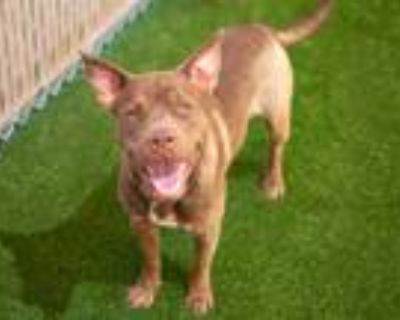 Adopt BONGO a Brown/Chocolate - with White American Pit Bull Terrier / Shar Pei