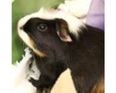 Adopt Sunflower a Black Guinea Pig / Mixed small animal in Ann Arbor