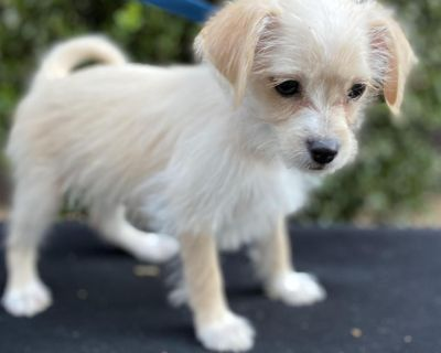 Biddy 11143 - Mixed Breed (Small) - Puppy Female