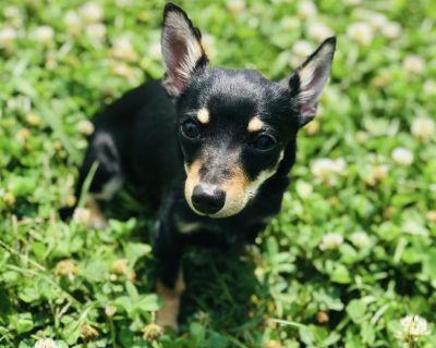 Taco 11037 - Chihuahua/Mix - Puppy Female