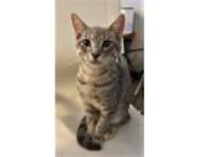 Adopt HERCULES a Gray, Blue or Silver Tabby Domestic Shorthair / Mixed cat in