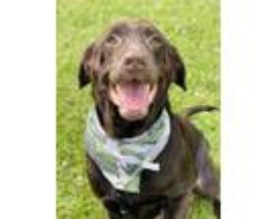 Adopt Major a Brown/Chocolate Labrador Retriever / Mixed dog in Binghamton