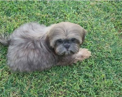 Blue Fawn Male Shih Tzu Puppy