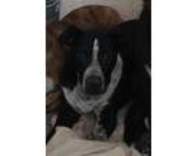Adopt CARLA a Black - with White Labrador Retriever / Mixed dog in Albuquerque