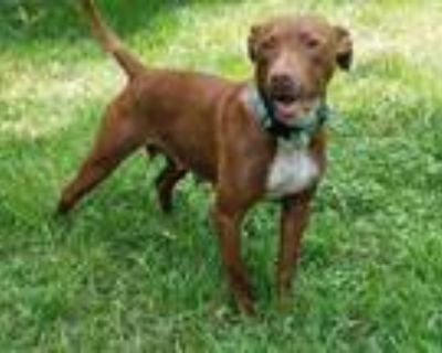Adopt RONA a American Pit Bull Terrier / Mixed dog in Gloucester, VA (31670549)
