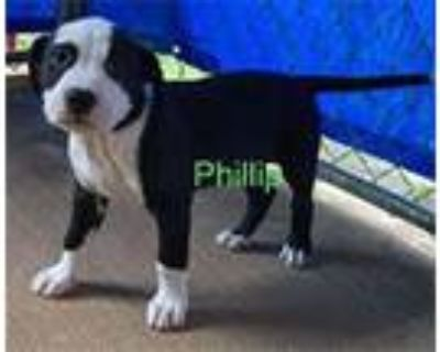 Adopt Wood Pup Philip a Pit Bull Terrier / Mixed dog in Chantilly, VA (32121923)