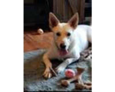 Adopt Barbie a Tan/Yellow/Fawn Labrador Retriever / Husky / Mixed dog in El
