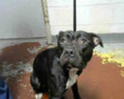 Adopt BETTY a Black American Pit Bull Terrier / Mixed dog in Atlanta