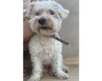Adopt Max a White Terrier (Unknown Type, Small) / Poodle (Standard) / Mixed dog