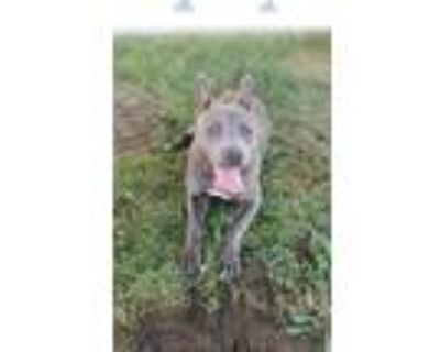 Adopt *DAPHNE a Gray/Silver/Salt & Pepper - with White American Pit Bull Terrier