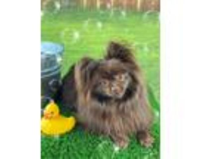 Adopt BearyBear (Bonded with Winnie) a Brown/Chocolate Pomeranian / Mixed dog in