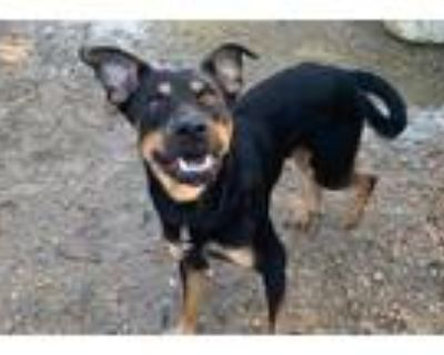 Adopt A838848 a Black - with Tan, Yellow or Fawn Labrador Retriever / Mixed dog