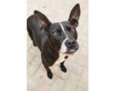 Adopt Jada a Black - with White Boxer / Pit Bull Terrier / Mixed dog in