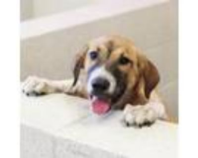Adopt Willie a Hound, Mixed Breed