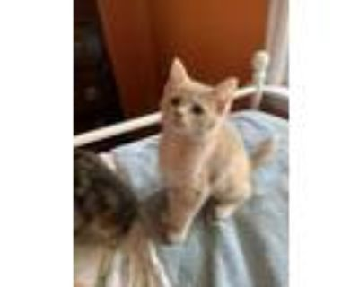Adopt Romeo a Tan or Fawn Domestic Shorthair / Domestic Shorthair / Mixed cat in