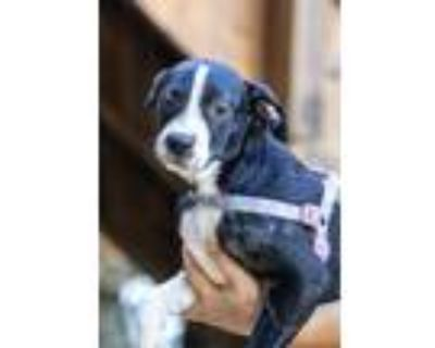 Adopt Wes a Black - with White Border Collie / Mixed dog in Lafayette