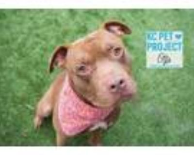 Adopt Otto a Brown/Chocolate American Pit Bull Terrier / Mixed dog in Kansas