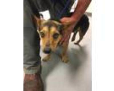 Adopt 48210573 a Black Lancashire Heeler / Mixed dog in Los Lunas, NM (31928276)