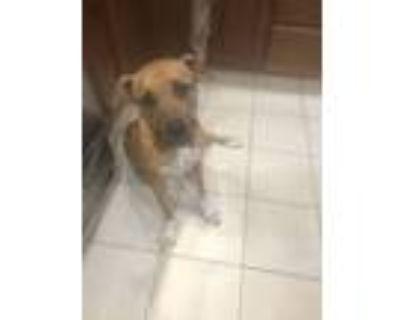 Adopt Dinah a Pit Bull Terrier, Boxer