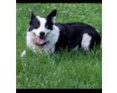 Adopt Sweetie a Border Collie