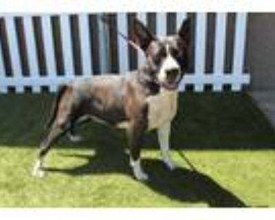 Adopt *TIFFANY a Black - with White American Pit Bull Terrier / Mixed dog in