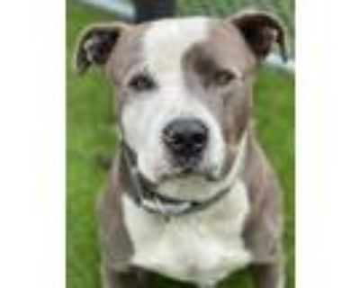 Adopt BIFF a Gray/Silver/Salt & Pepper - with White American Pit Bull Terrier /