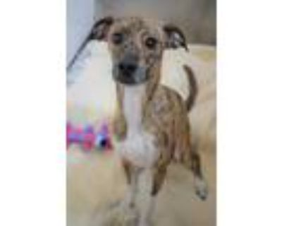 Adopt Pebbles a Brown/Chocolate Whippet / Mixed dog in Williamsburg