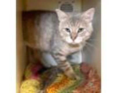 Adopt Tito a Tan or Fawn Domestic Shorthair / Domestic Shorthair / Mixed cat in