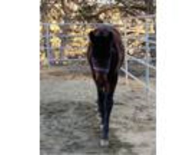 Bay Registered Andalusian Filly