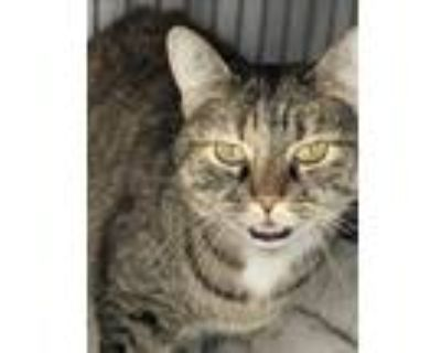 Adopt Scarlett a Brown or Chocolate (Mostly) Domestic Shorthair / Mixed cat in
