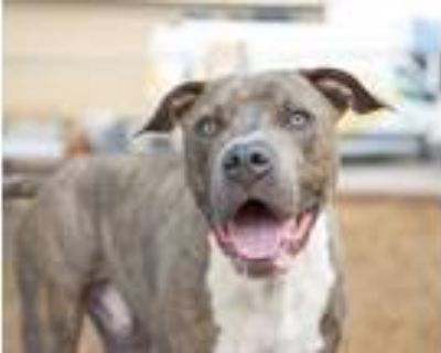 Adopt DEACON a Brindle - with White American Pit Bull Terrier / Mixed dog in