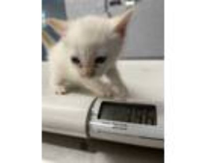 Adopt 47932681 a White Domestic Shorthair / Domestic Shorthair / Mixed cat in
