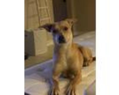 Adopt Lady a Tan/Yellow/Fawn - with White Retriever (Unknown Type) / Mixed dog