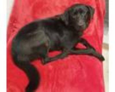 Adopt Darcy a Labrador Retriever