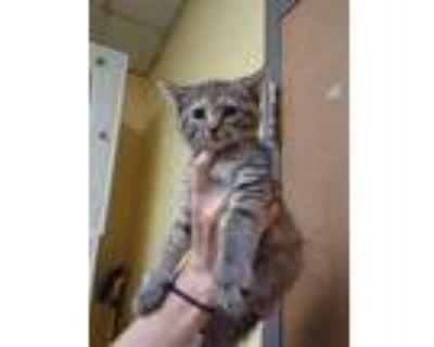 Adopt MERINGUE a Brown Tabby Domestic Mediumhair / Mixed (medium coat) cat in