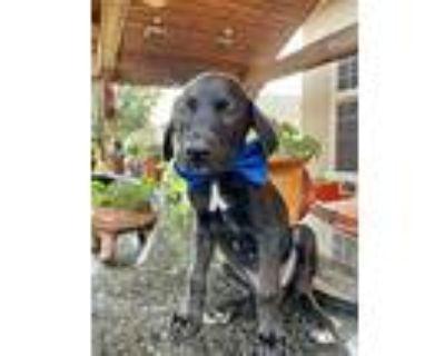 Chase, Labrador Retriever For Adoption In Denver, Colorado