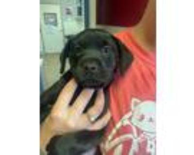 Adopt Boyd a Black Labrador Retriever / Mixed dog in Springfield, VA (32017103)