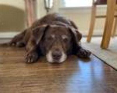 Adopt Molly a Labrador Retriever / Mixed dog in Rockville, MD (32572637)