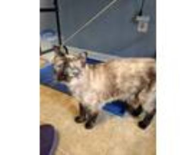 Adopt Bootsie a Brown or Chocolate Siamese / Domestic Shorthair / Mixed cat in