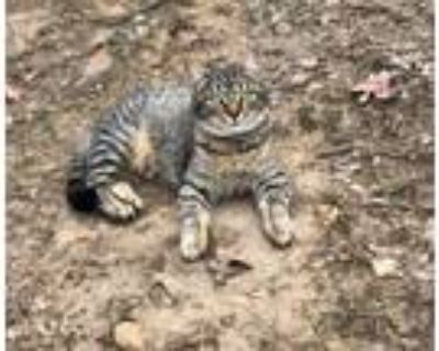Adopt Monica a Domestic Mediumhair / Mixed cat in Claremore, OK (29725203)