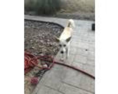 Adopt Luna a White - with Red, Golden, Orange or Chestnut Labrador Retriever /