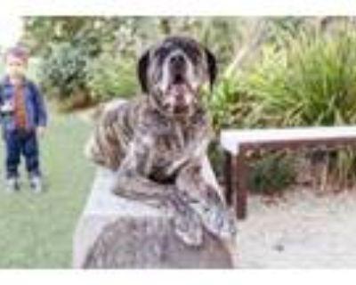 Adopt GI JOE a Mastiff