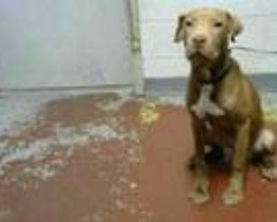 Adopt SHELTON a Labrador Retriever, Mixed Breed