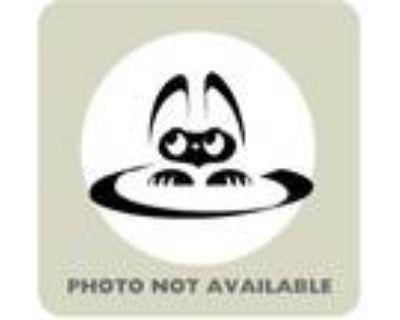 Adopt Titan a All Black Domestic Mediumhair / Mixed cat in El Paso