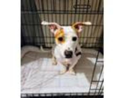 Adopt Genelle a White - with Brown or Chocolate Pit Bull Terrier / Jack Russell