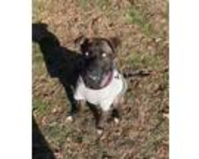 Adopt Rocky a Brindle Bull Terrier / Husky / Mixed dog in Riverdale