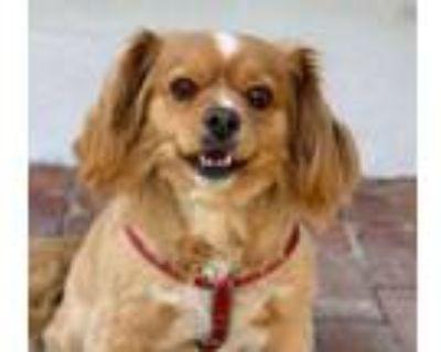 Adopt Chuck a Spaniel, Pekingese