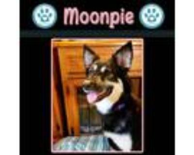 Adopt Moonpie a Husky, Shepherd