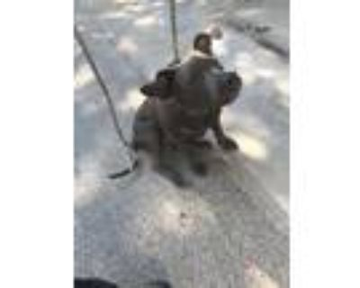 Adopt 48049746 a Gray/Blue/Silver/Salt & Pepper American Pit Bull Terrier /