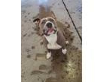 Adopt *TAFFY a Gray/Silver/Salt & Pepper - with White American Pit Bull Terrier